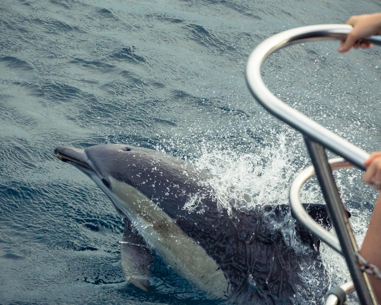 Seeing Dolphins in Nelson Bay or Port Stephens