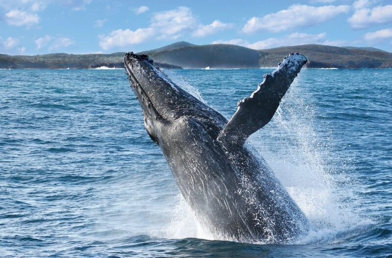 Whale Watch Cruise Nelson Bay